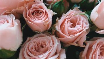 Bouquet de roses : voici comment les conserver plus longtemps encore !